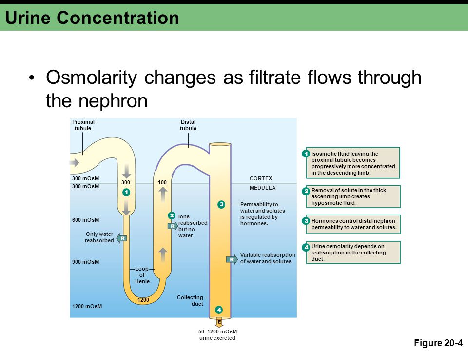 Fluid and Electrolyte Balance Vasa recta removes water Close anatomical association of the loop of Henle and the vasa recta Urea increases the osmolarity of the medullary interstitium