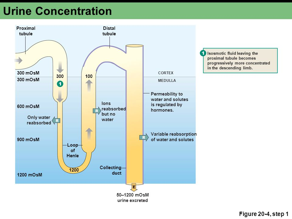 Water Reabsorption Vasopressin makes the collecting duct permeable to water Figure 20-5a