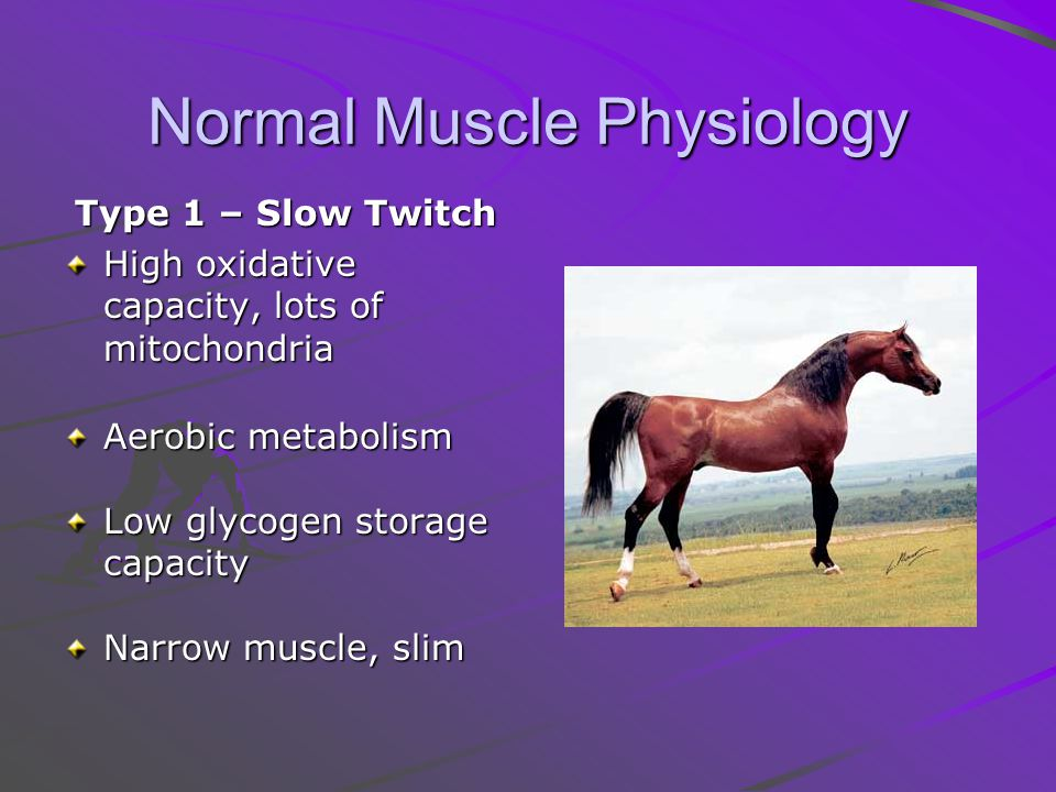 Normal Muscle Physiology Type 1 – Slow Twitch High oxidative capacity, lots of mitochondria Aerobic metabolism Low glycogen storage capacity Narrow muscle, slim