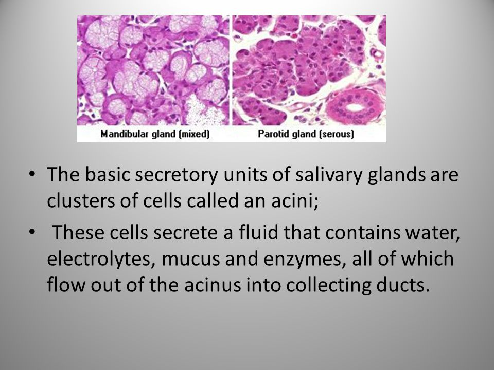 The basic secretory units of salivary glands are clusters of cells called an acini; These cells secrete a fluid that contains water, electrolytes, muc