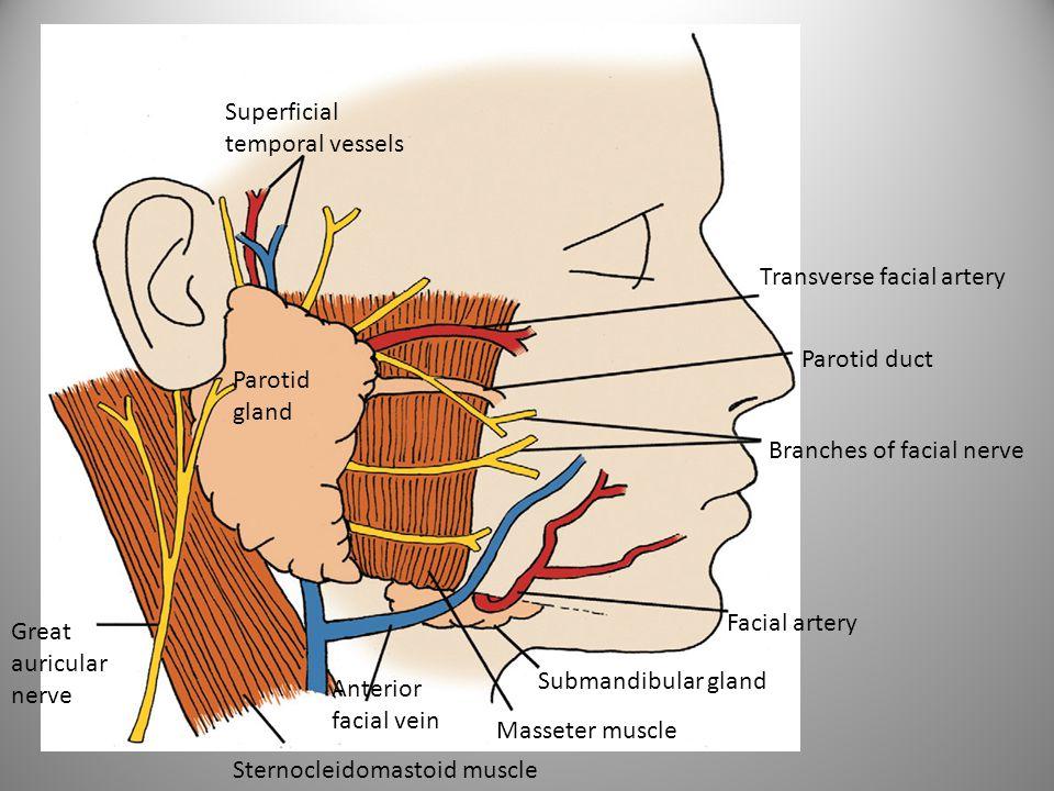 Superficial temporal vessels Transverse facial artery Parotid duct Branches of facial nerve Facial artery Submandibular gland Masseter muscle Anterior