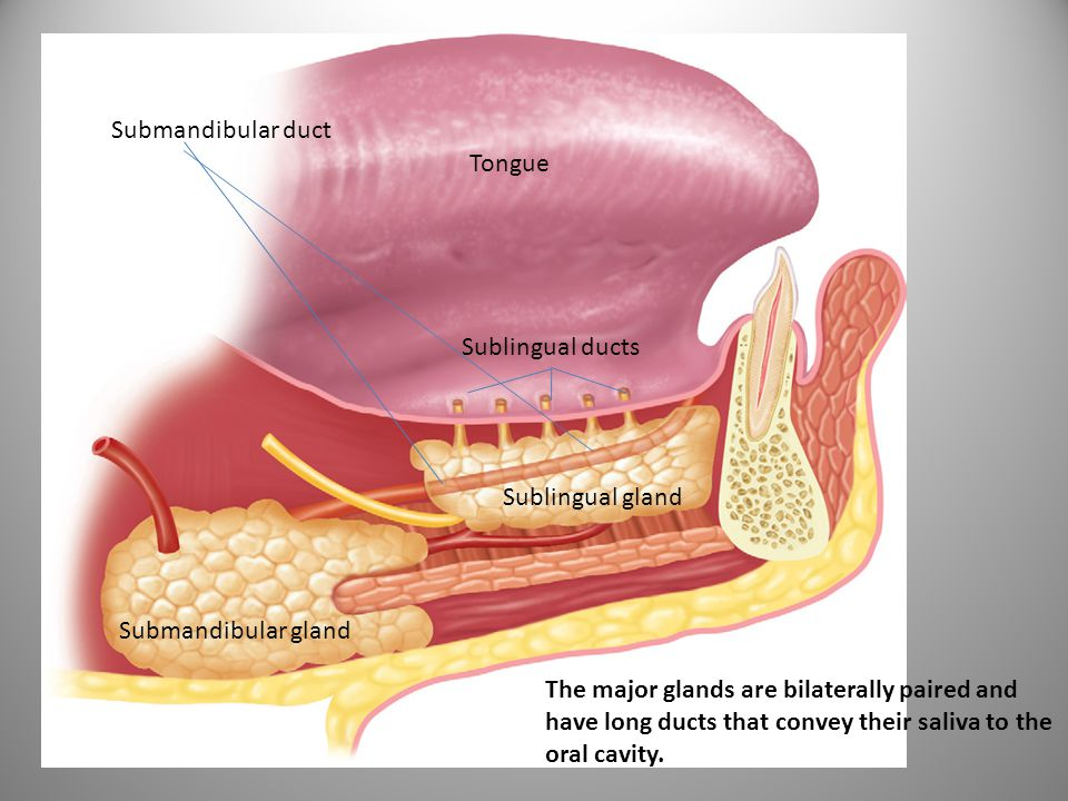 Tongue Sublingual ducts Submandibular duct Sublingual gland Submandibular gland The major glands are bilaterally paired and have long ducts that conve