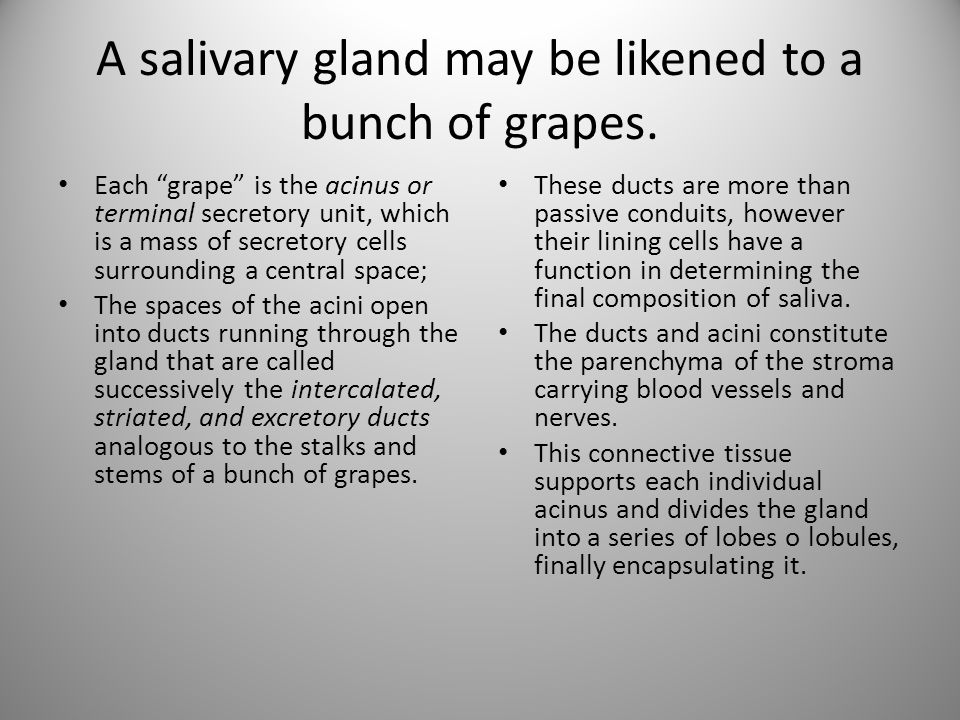 """A salivary gland may be likened to a bunch of grapes. Each """"grape"""" is the acinus or terminal secretory unit, which is a mass of secretory cells surrou"""
