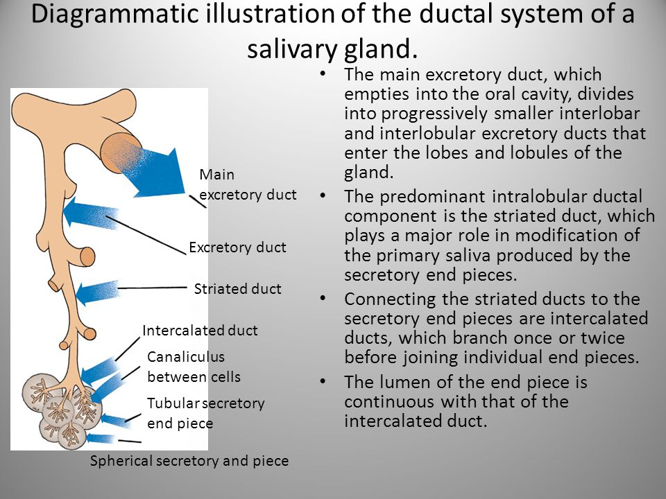 Diagrammatic illustration of the ductal system of a salivary gland. The main excretory duct, which empties into the oral cavity, divides into progress