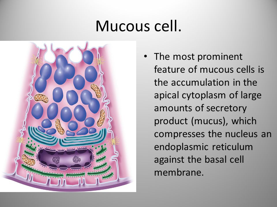Mucous cell. The most prominent feature of mucous cells is the accumulation in the apical cytoplasm of large amounts of secretory product (mucus), whi