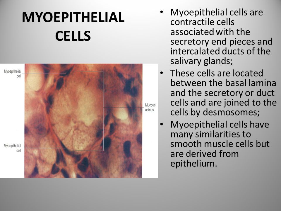 MYOEPITHELIAL CELLS Myoepithelial cells are contractile cells associated with the secretory end pieces and intercalated ducts of the salivary glands;