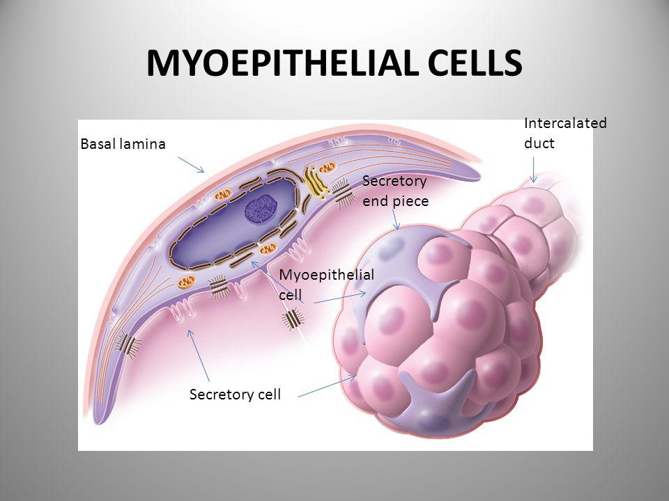 MYOEPITHELIAL CELLS Basal lamina Myoepithelial cell Secretory end piece Intercalated duct Secretory cell