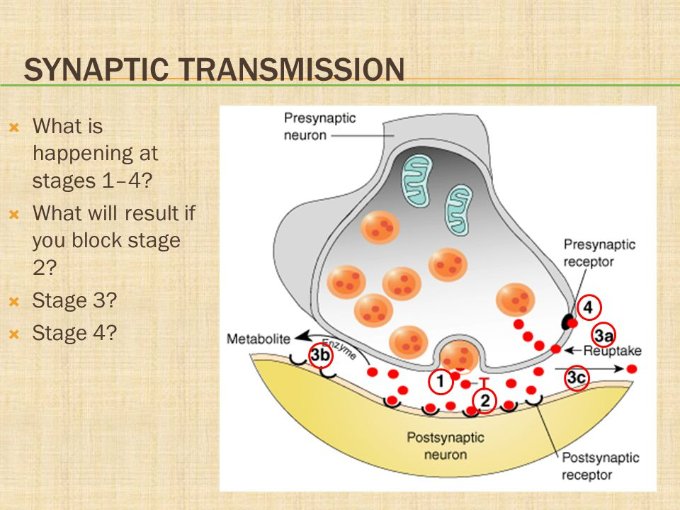 SYNAPTIC TRANSMISSION  What is happening at stages 1–4?  What will result if you block stage 2?  Stage 3?  Stage 4?