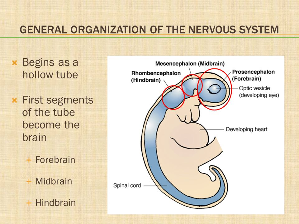 GENERAL ORGANIZATION OF THE NERVOUS SYSTEM  Begins as a hollow tube  First segments of the tube become the brain  Forebrain  Midbrain  Hindbrain