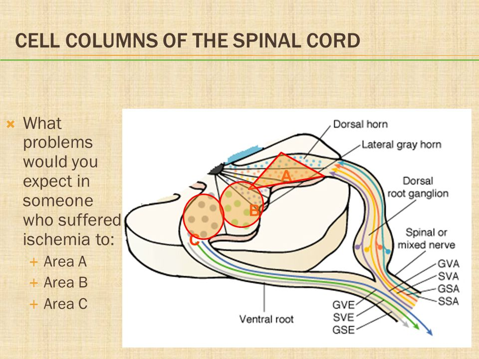 CELL COLUMNS OF THE SPINAL CORD  What problems would you expect in someone who suffered ischemia to:  Area A  Area B  Area C A B C