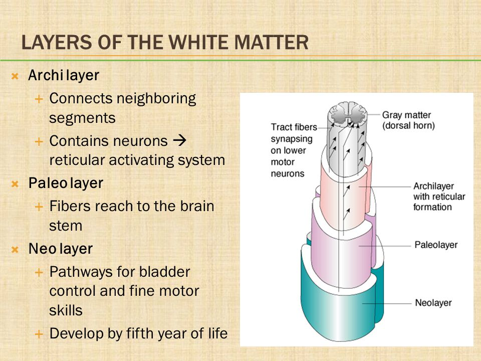 LAYERS OF THE WHITE MATTER  Archi layer  Connects neighboring segments  Contains neurons  reticular activating system  Paleo layer  Fibers reach