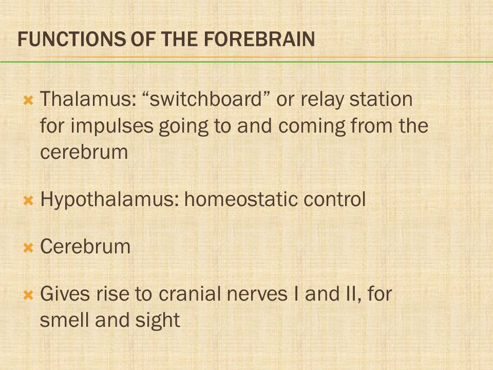 "FUNCTIONS OF THE FOREBRAIN  Thalamus: ""switchboard"" or relay station for impulses going to and coming from the cerebrum  Hypothalamus: homeostatic c"