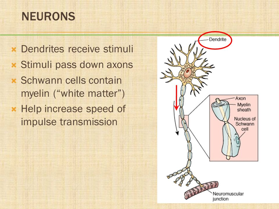 "NEURONS  Dendrites receive stimuli  Stimuli pass down axons  Schwann cells contain myelin (""white matter"")  Help increase speed of impulse transmi"
