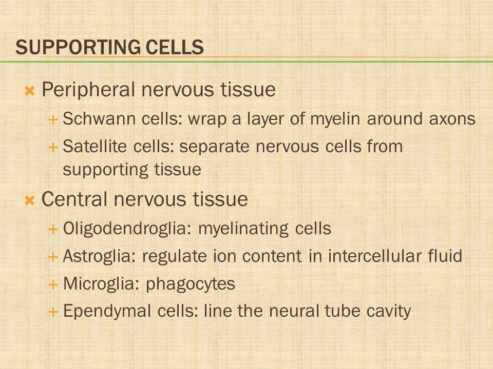 SUPPORTING CELLS  Peripheral nervous tissue  Schwann cells: wrap a layer of myelin around axons  Satellite cells: separate nervous cells from suppo