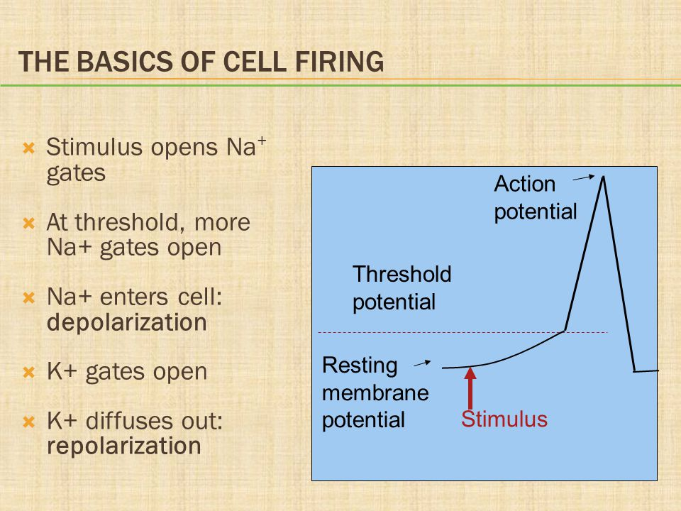 THE BASICS OF CELL FIRING  Stimulus opens Na + gates  At threshold, more Na+ gates open  Na+ enters cell: depolarization  K+ gates open  K+ diffu