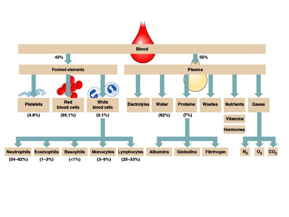Fate and Destruction of Erythrocytes The life span of an erythrocyte is 100–120 days Dying erythrocytes are engulfed by macrophages Heme & globin are separated and the iron is salvaged for reuse Fate of Hemoglobin Heme is degraded to a yellow pigment called bilirubin The liver secretes bilirubin into the intestines as bile The intestines metabolize it into urobilinogen This degraded pigment leaves the body in feces, in a pigment called stercobilin or as urobilinogen in urine Globin is metabolized into amino acids and is released into the circulation