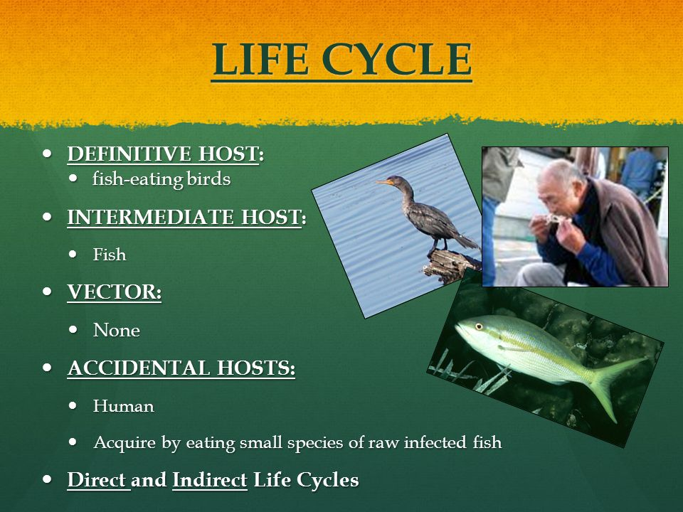 LIFE CYCLE DEFINITIVE HOST: DEFINITIVE HOST: fish-eating birds fish-eating birds INTERMEDIATE HOST : INTERMEDIATE HOST : Fish Fish VECTOR: VECTOR: Non