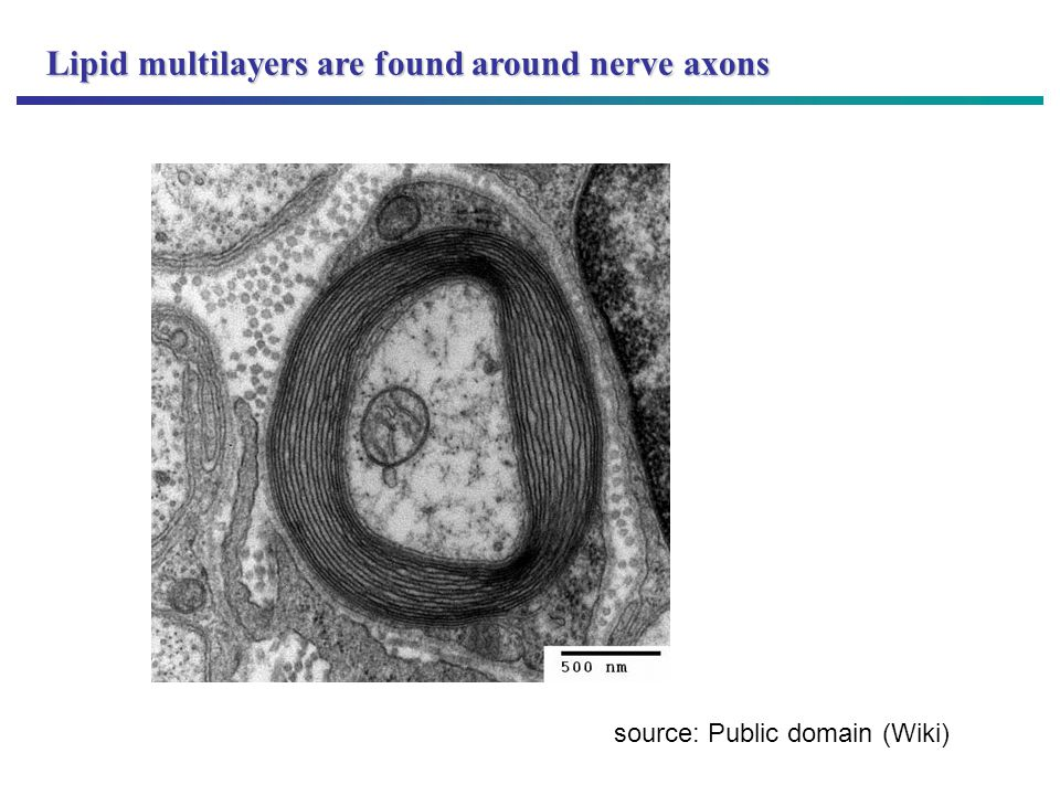 Lipid multilayers are found around nerve axons source: Public domain (Wiki)