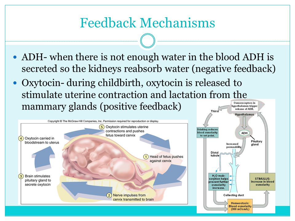 Maintenance of homeostasis ADH- helps maintain water and electrolyte balance The pituitary and the hypothalamus glands work together to regulate the release of other hormones in the body.