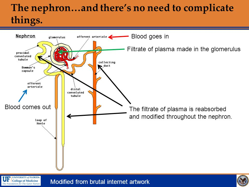 The nephron…and there's no need to complicate things. Modified from brutal internet artwork Blood goes in Blood comes out Filtrate of plasma made in t