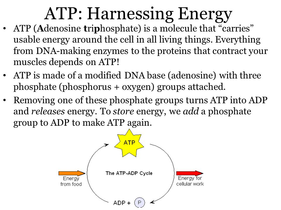 ATP: Harnessing Energy ATP (Adenosine triphosphate) is a molecule that carries usable energy around the cell in all living things.