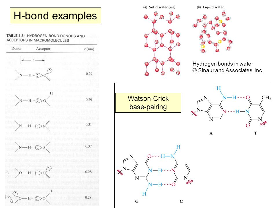 H-bond examples Watson-Crick base-pairing Hydrogen bonds in water © Sinaur and Associates, Inc.