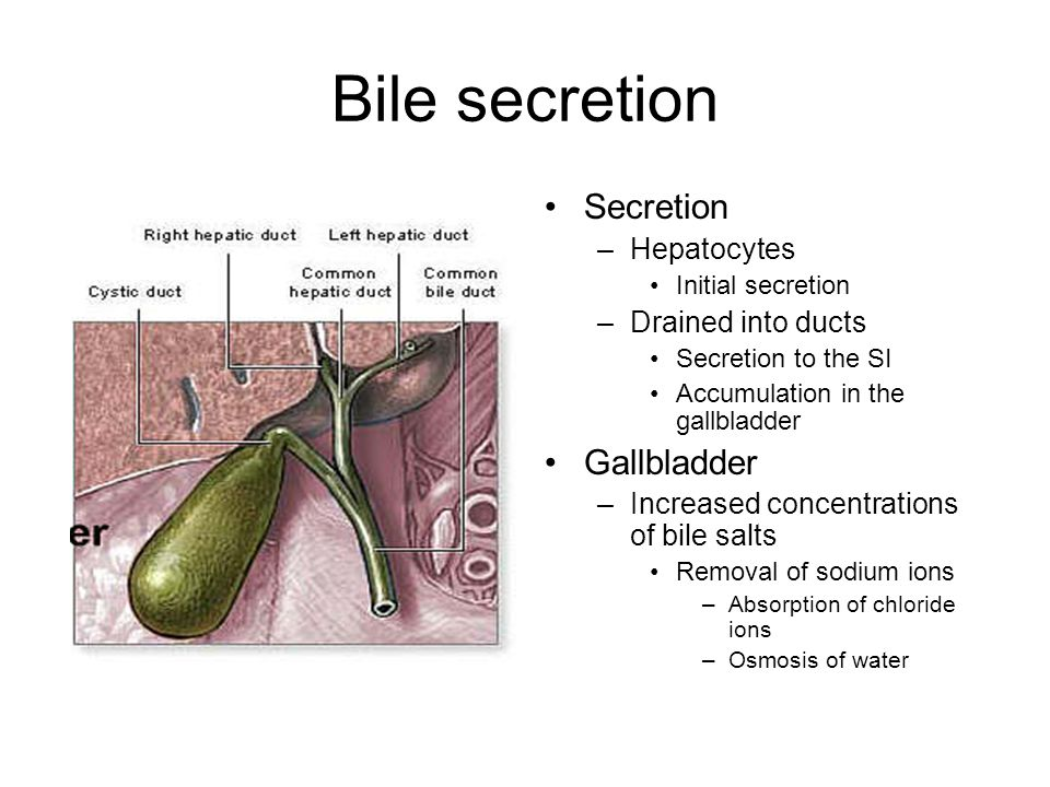 Bile secretion Secretion –Hepatocytes Initial secretion –Drained into ducts Secretion to the SI Accumulation in the gallbladder Gallbladder –Increased concentrations of bile salts Removal of sodium ions –Absorption of chloride ions –Osmosis of water
