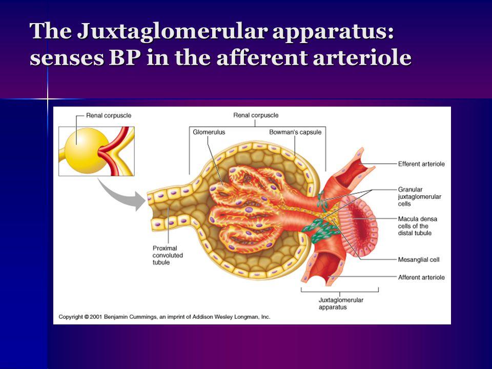 The Juxtaglomerular apparatus: senses BP in the afferent arteriole