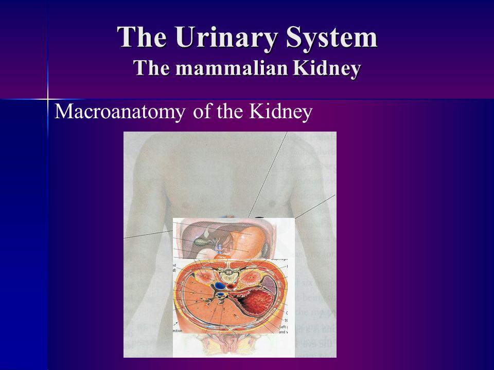 The Urinary System The mammalian Kidney Macroanatomy of the Kidney