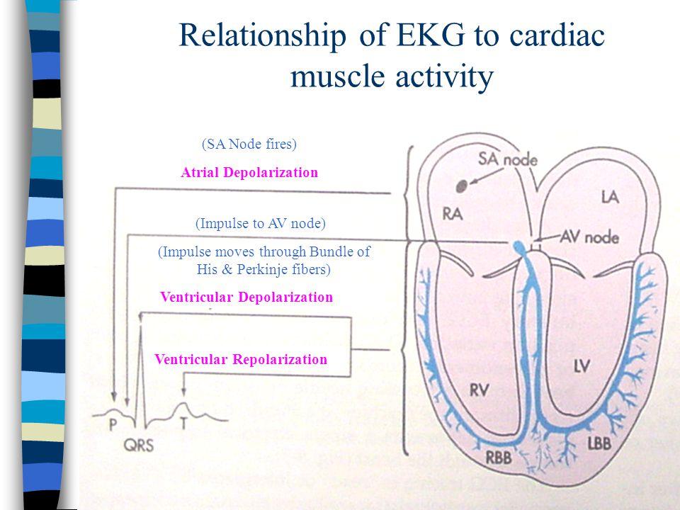 Relationship of EKG to cardiac muscle activity (SA Node fires) (Impulse to AV node) (Impulse moves through Bundle of His & Perkinje fibers) Ventricula