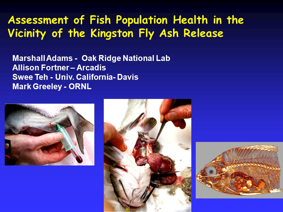 Assessment of Fish Population Health in the Vicinity of the Kingston Fly Ash Release Marshall Adams - Oak Ridge National Lab Allison Fortner – Arcadis Swee Teh - Univ.
