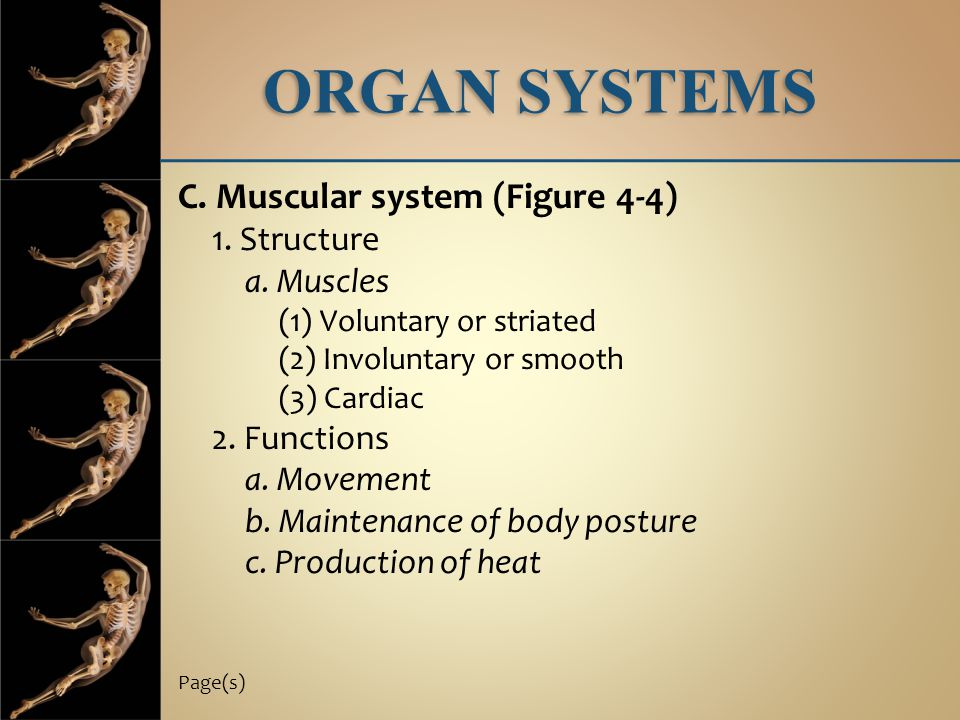 ORGAN SYSTEMS C. Muscular system (Figure 4-4) 1. Structure a. Muscles (1) Voluntary or striated (2) Involuntary or smooth (3) Cardiac 2. Functions a.