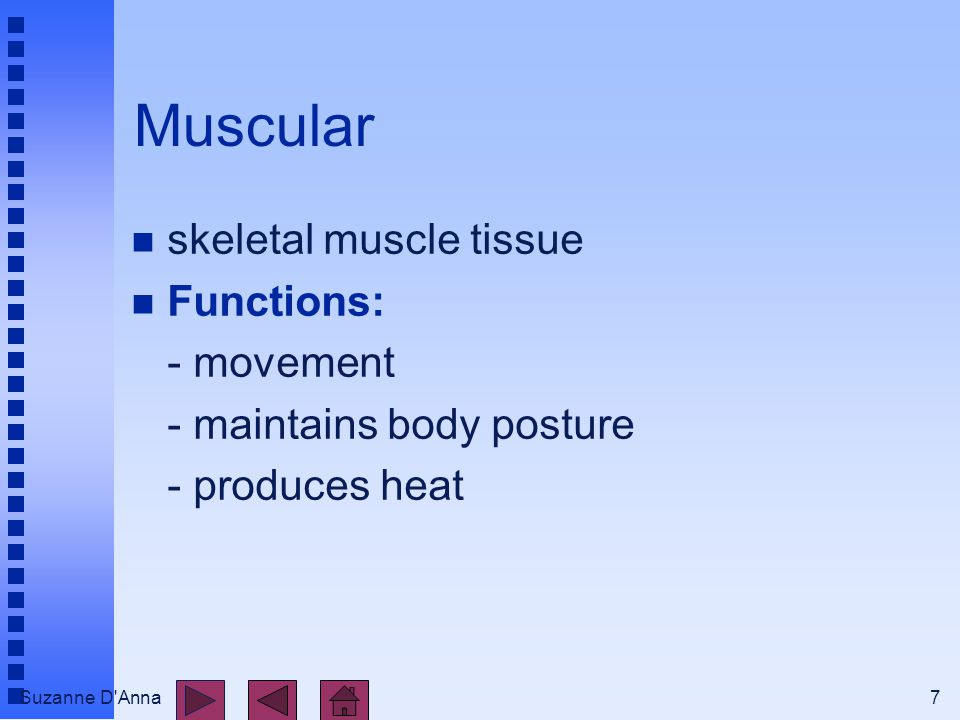 Suzanne D Anna7 Muscular n skeletal muscle tissue n Functions: - movement - maintains body posture - produces heat