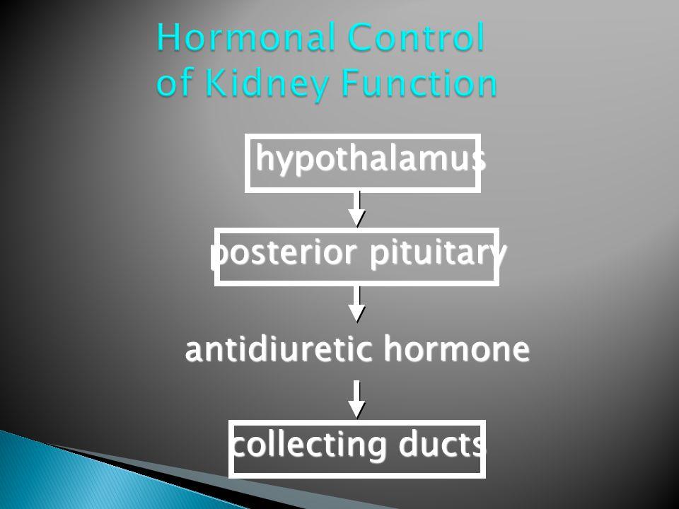 hypothalamus posterior pituitary antidiuretic hormone collecting ducts