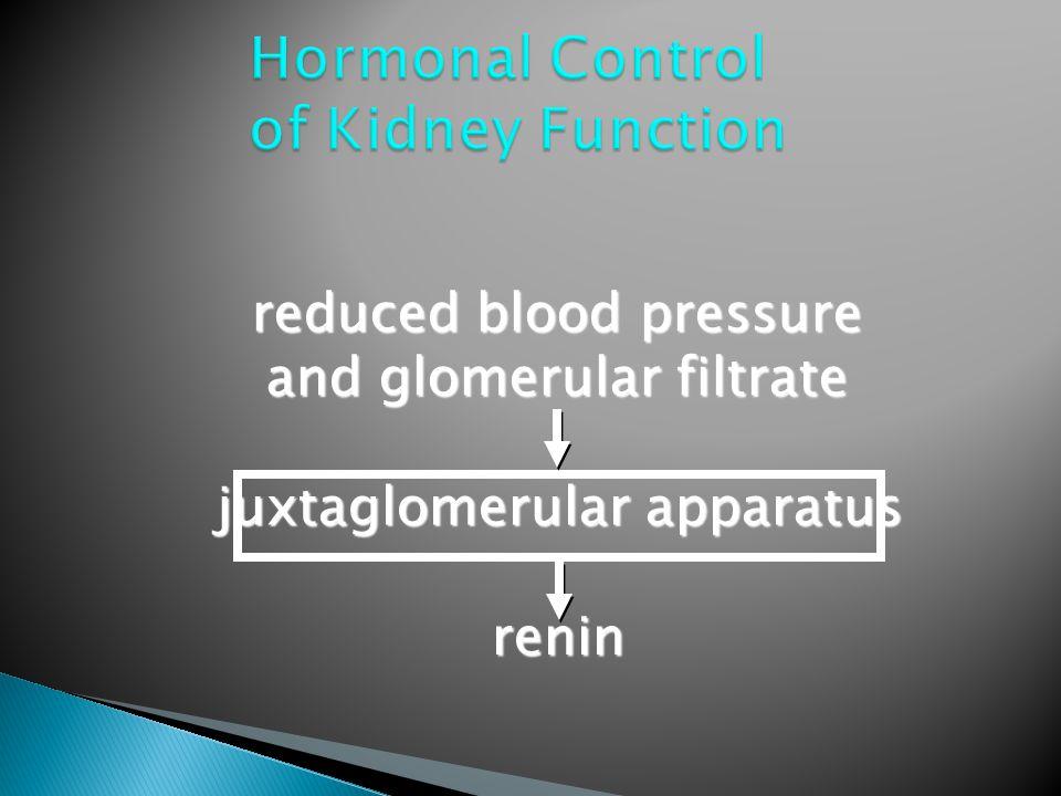 reduced blood pressure and glomerular filtrate juxtaglomerular apparatus renin