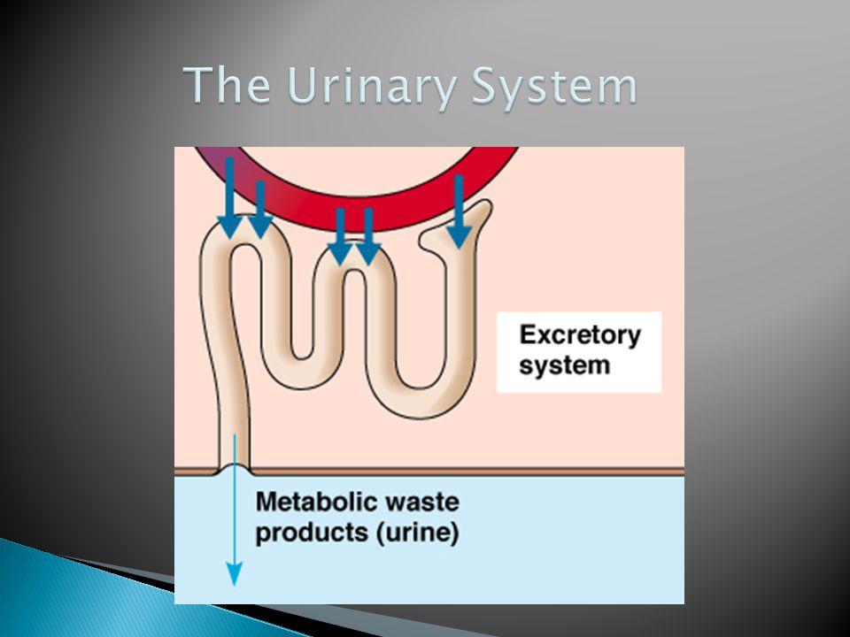 urine blood filtration tubular reabsorptio n and secretion refreshed blood