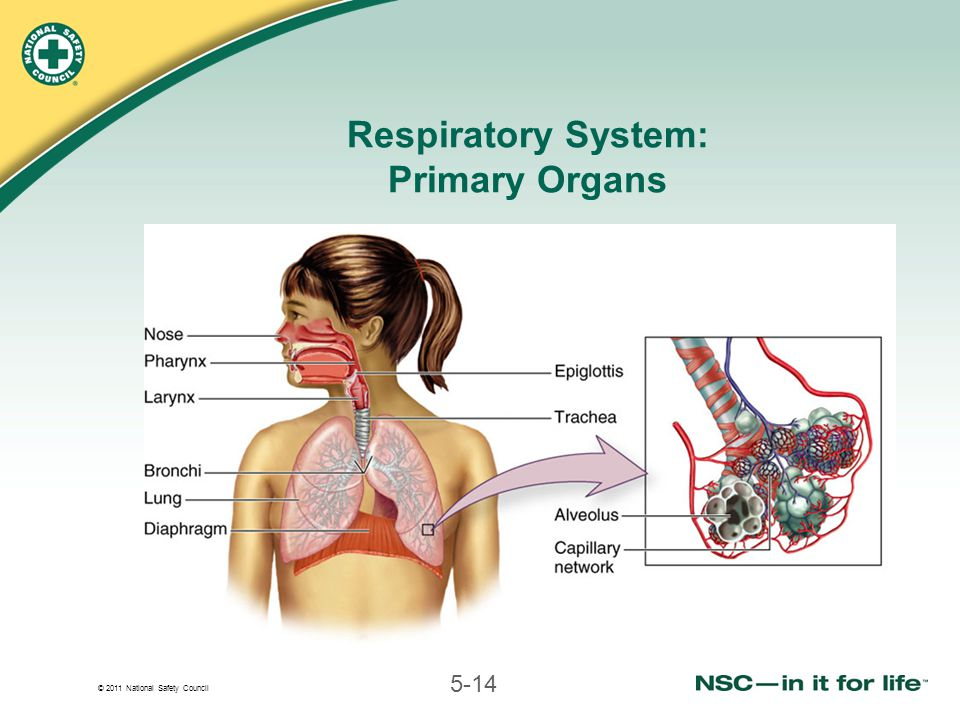 © 2011 National Safety Council 5-14 Respiratory System: Primary Organs