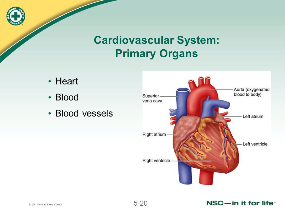 © 2011 National Safety Council 5-20 Cardiovascular System: Primary Organs Heart Blood Blood vessels