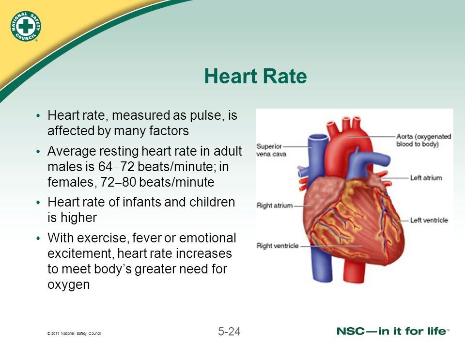 © 2011 National Safety Council 5-24 Heart Rate Heart rate, measured as pulse, is affected by many factors Average resting heart rate in adult males is 64  72 beats/minute; in females, 72  80 beats/minute Heart rate of infants and children is higher With exercise, fever or emotional excitement, heart rate increases to meet body's greater need for oxygen