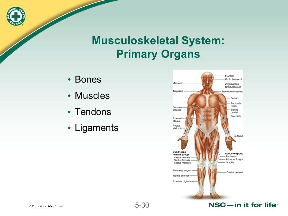 © 2011 National Safety Council 5-30 Musculoskeletal System: Primary Organs Bones Muscles Tendons Ligaments