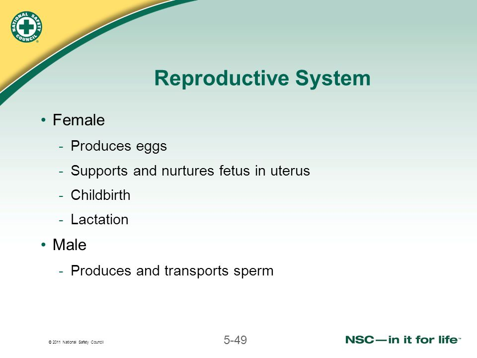 © 2011 National Safety Council 5-49 Reproductive System Female -Produces eggs -Supports and nurtures fetus in uterus -Childbirth -Lactation Male -Produces and transports sperm