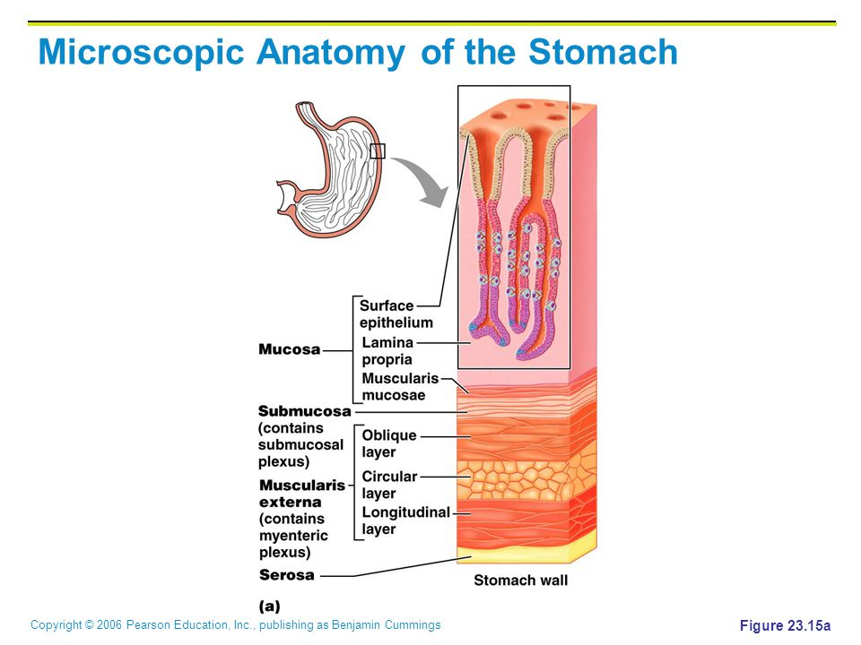 Copyright © 2006 Pearson Education, Inc., publishing as Benjamin Cummings Microscopic Anatomy of the Stomach Figure 23.15a