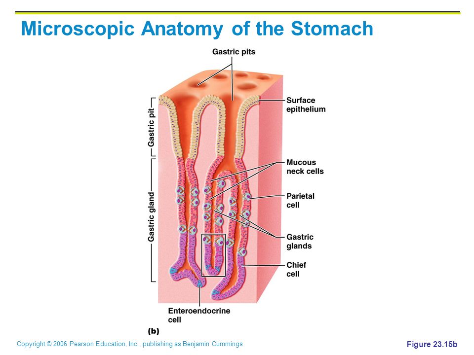 Copyright © 2006 Pearson Education, Inc., publishing as Benjamin Cummings Microscopic Anatomy of the Stomach Figure 23.15b