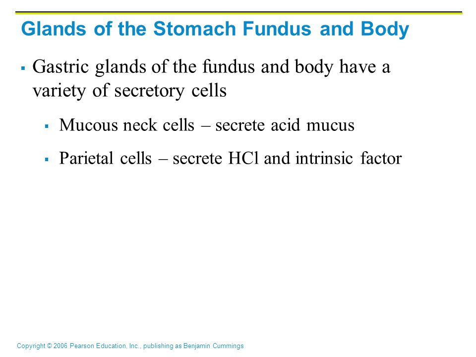 Copyright © 2006 Pearson Education, Inc., publishing as Benjamin Cummings Glands of the Stomach Fundus and Body  Gastric glands of the fundus and bod