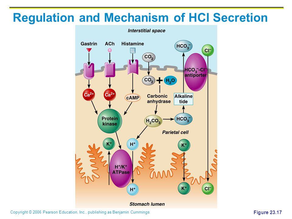 Copyright © 2006 Pearson Education, Inc., publishing as Benjamin Cummings Regulation and Mechanism of HCl Secretion Figure 23.17