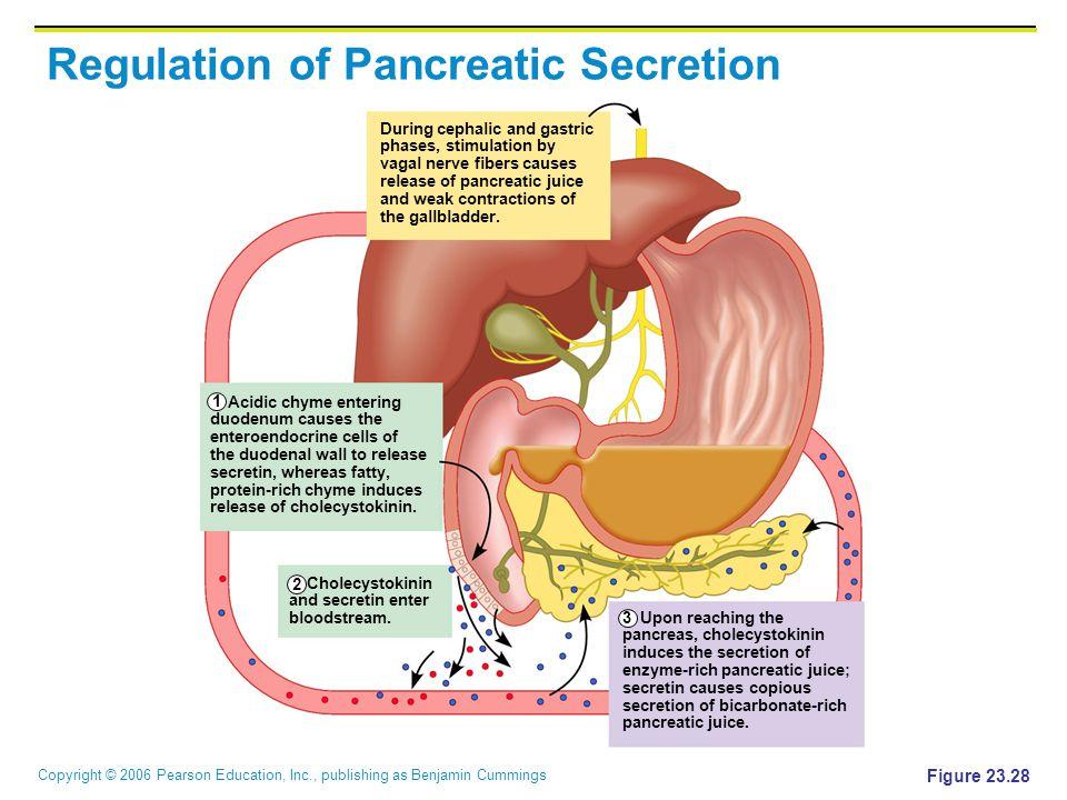 Copyright © 2006 Pearson Education, Inc., publishing as Benjamin Cummings Regulation of Pancreatic Secretion Figure 23.28 Acidic chyme entering duoden