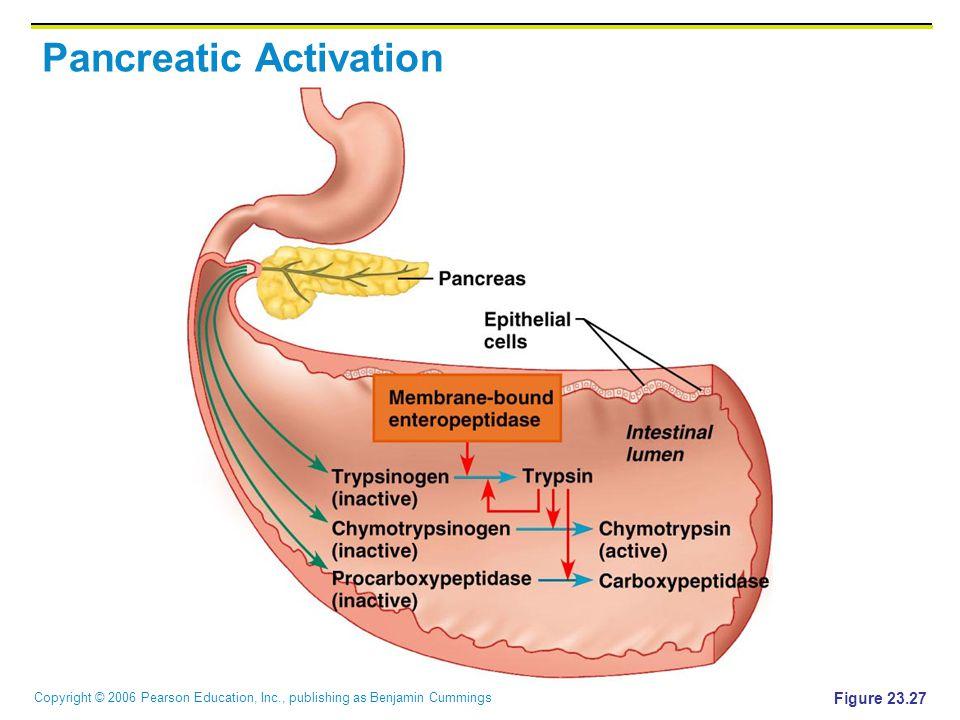 Copyright © 2006 Pearson Education, Inc., publishing as Benjamin Cummings Pancreatic Activation Figure 23.27