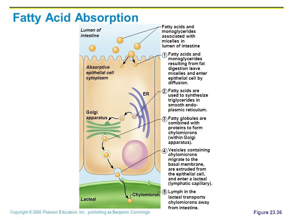 Copyright © 2006 Pearson Education, Inc., publishing as Benjamin Cummings Figure 23.36 Lumen of intestine Absorptive epithelial cell cytoplasm ER Golg