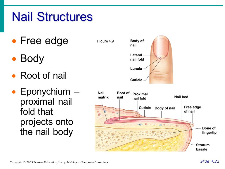 Nail Structures Slide 4.22 Copyright © 2003 Pearson Education, Inc. publishing as Benjamin Cummings  Free edge  Body  Root of nail  Eponychium – p