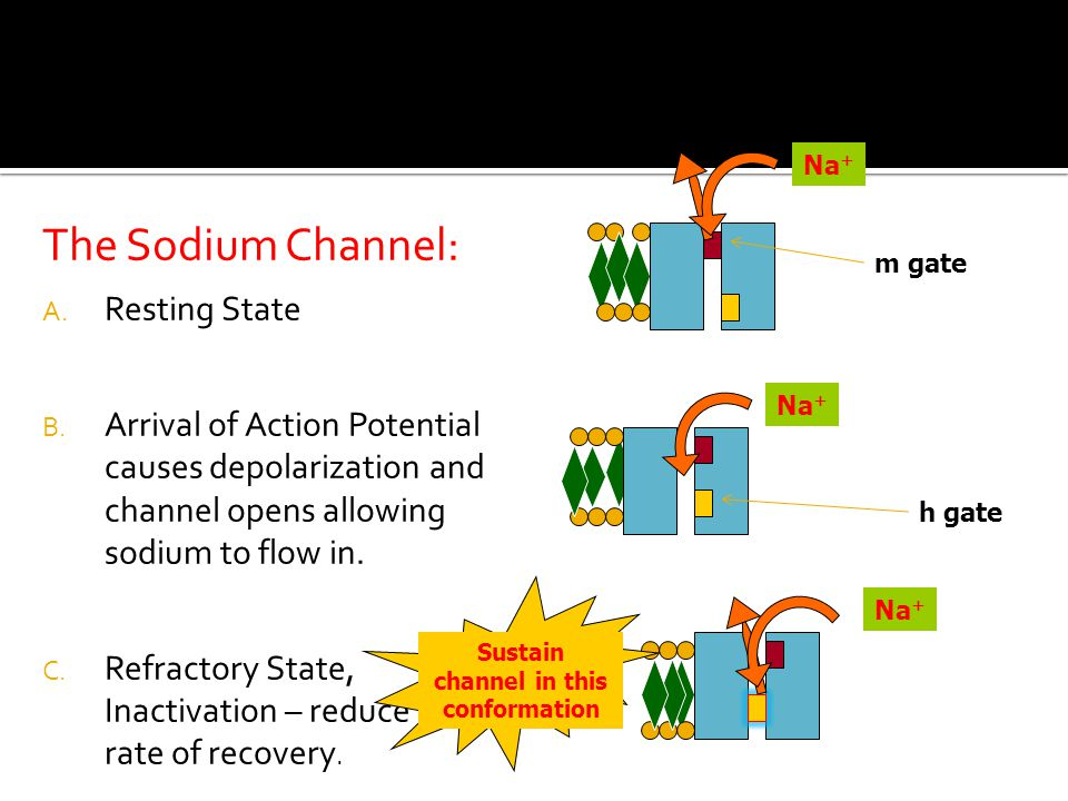 The Sodium Channel: A. Resting State B.